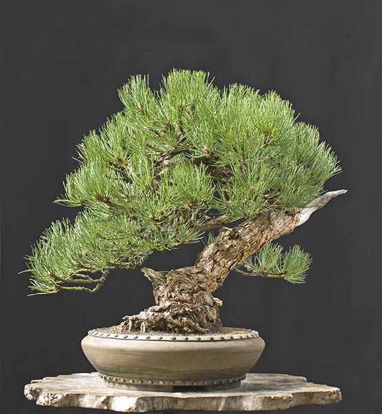 Ponderosa Pines... can they really make good bonsai? Psc_0610