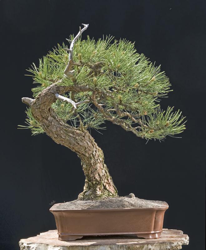 Ponderosa Pines... can they really make good bonsai? Qdsc_310