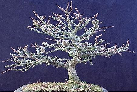 Shohin Larch 2005 to date Lp110
