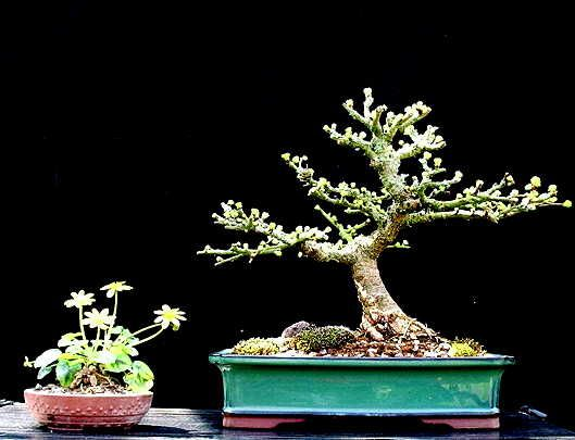 Shohin Larch 2005 to date Lp210