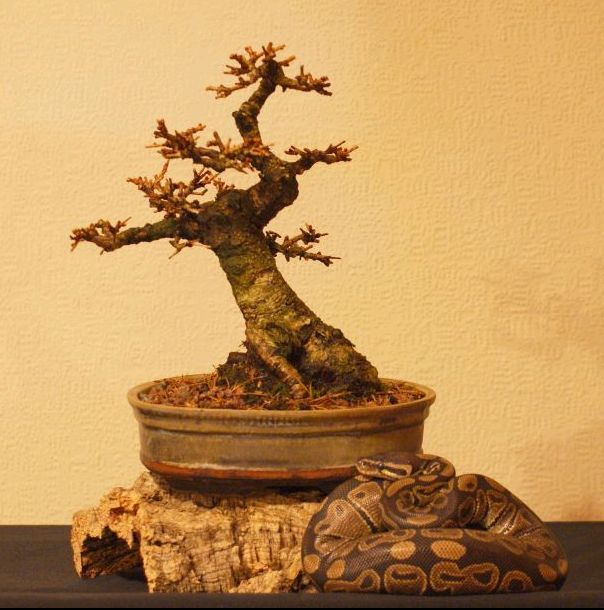 Shohin Larch 2005 to date Lp510