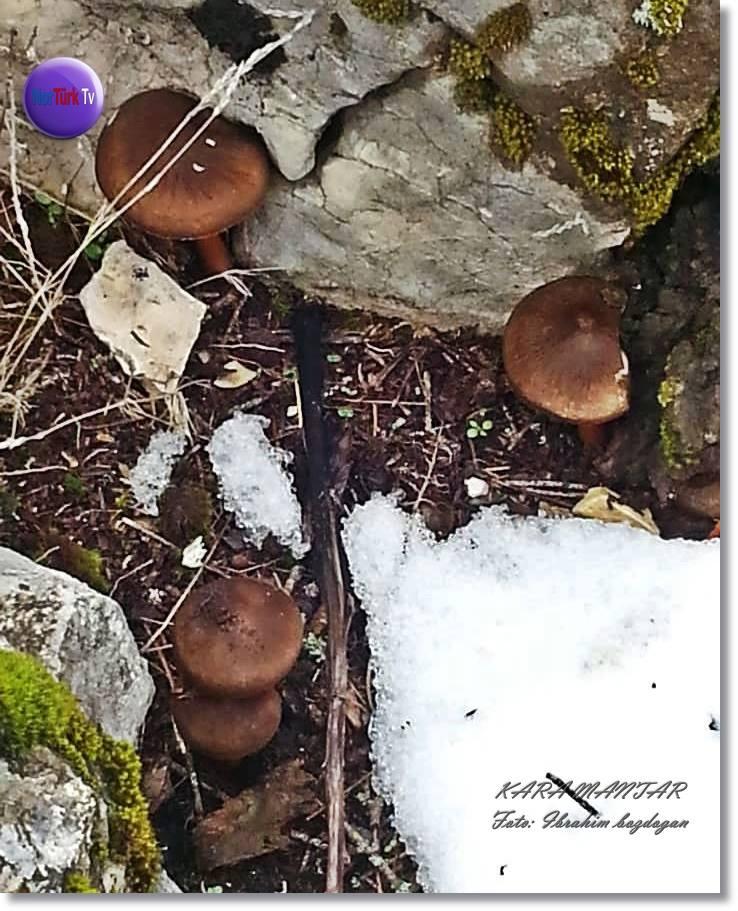 İstiridye(Kulak) Mantarı, Doğal Ağaç Mantarları Torosdağları Göynem 48375010