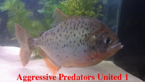 Aggressive Predators United Official Voting Thread For August 2011 POTM Apu_111