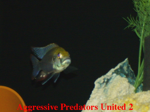 Aggressive Predators United Official Voting Thread For August 2011 POTM Apu_211
