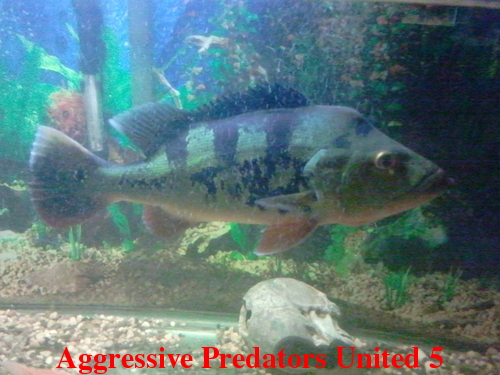 Aggressive Predators United Official Voting Thread For August 2011 POTM Apu_511