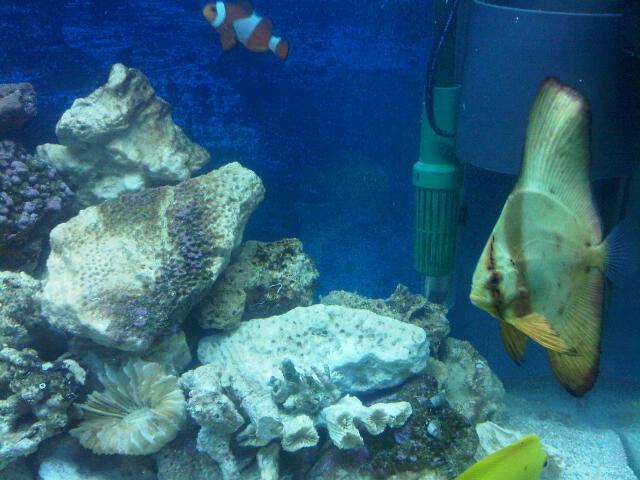 my Batfish and Yellow Tang Bat_fi10