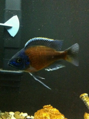 A Couple pics of my buddies Kandangos i Bred in my Store....all grown up! Kandan10