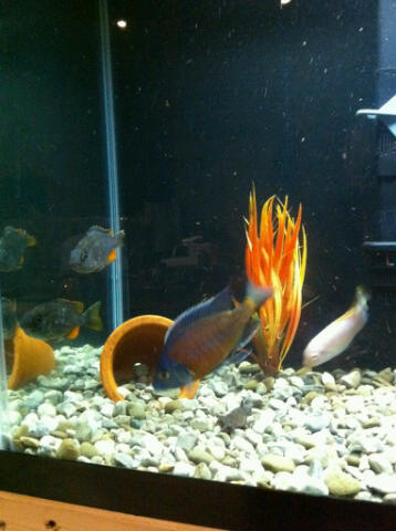 A Couple pics of my buddies Kandangos i Bred in my Store....all grown up! Kandan11