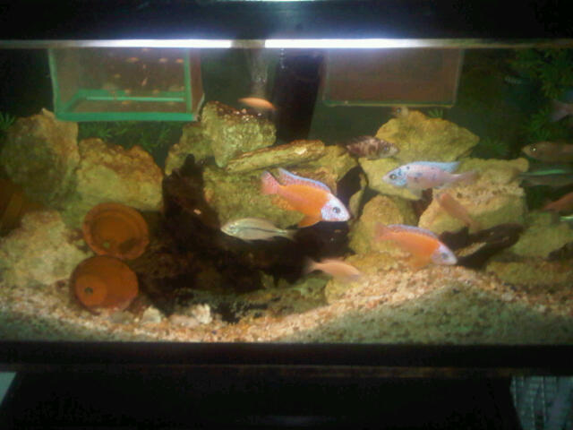 Some pics of my Hongi Peacocks,Rostratus,red X Reds and FireFish Michae94