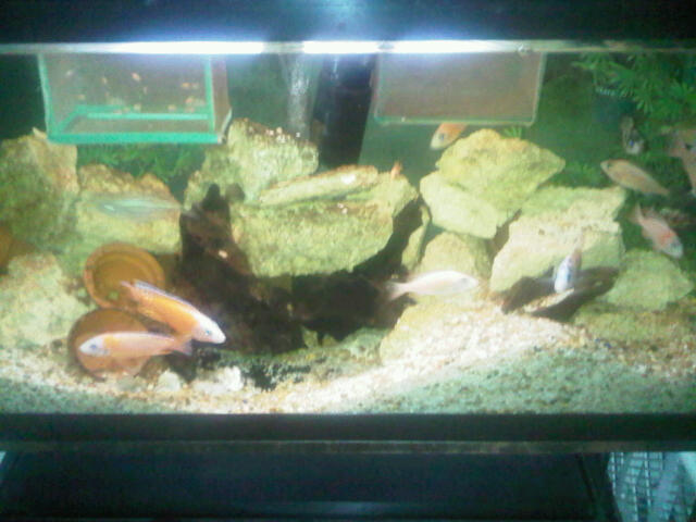 Some pics of my Hongi Peacocks,Rostratus,red X Reds and FireFish Michae95