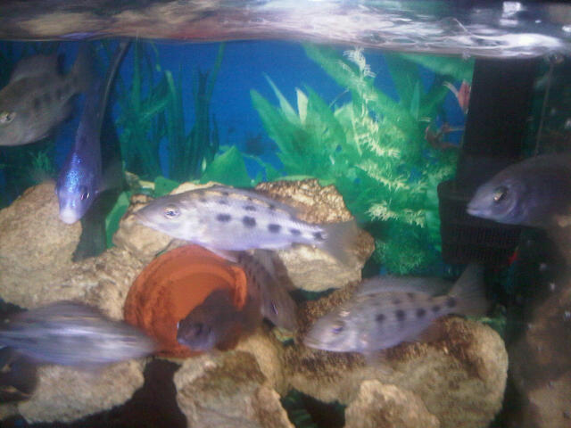 Some pics of my Hongi Peacocks,Rostratus,red X Reds and FireFish Michae98