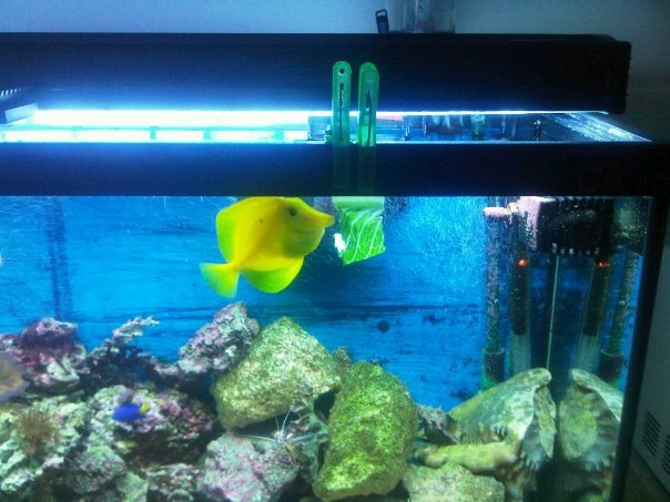 some pics of my Yellow Tang Eating Romaine Lettuce Yellow12