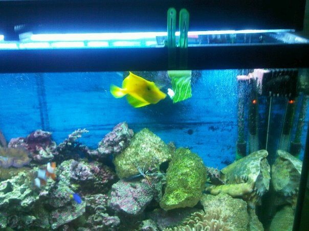 some pics of my Yellow Tang Eating Romaine Lettuce Yellow13