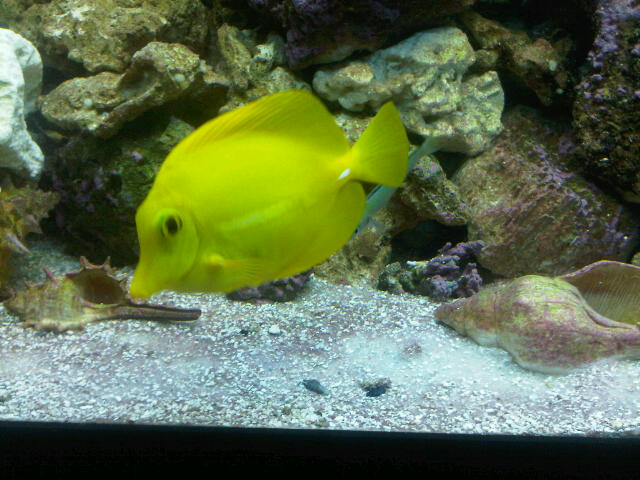 my Batfish and Yellow Tang Yellow14