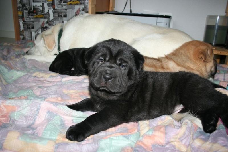 Vénus Labrador/Golden 8 ans et ses 5 BB Labrador/Golden x Shar Peï Gatsby10