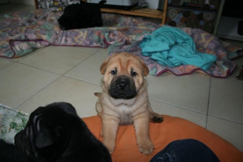 Vénus Labrador/Golden 8 ans et ses 5 BB Labrador/Golden x Shar Peï Malody10