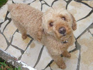 Urgent pour SAM,papy caniche 10 ans Samy10