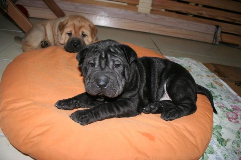 Vénus Labrador/Golden 8 ans et ses 5 BB Labrador/Golden x Shar Peï Stitch10