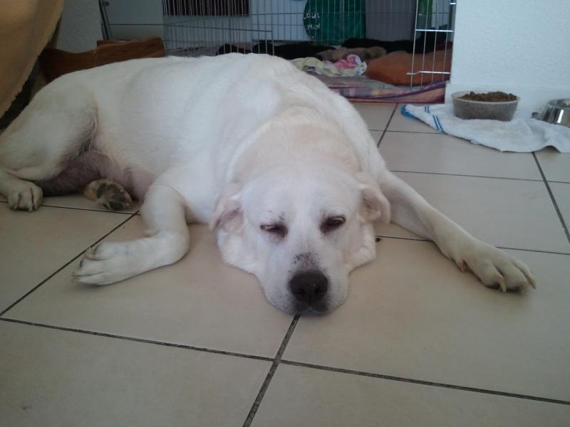 Vénus Labrador/Golden 8 ans et ses 5 BB Labrador/Golden x Shar Peï Vanus410
