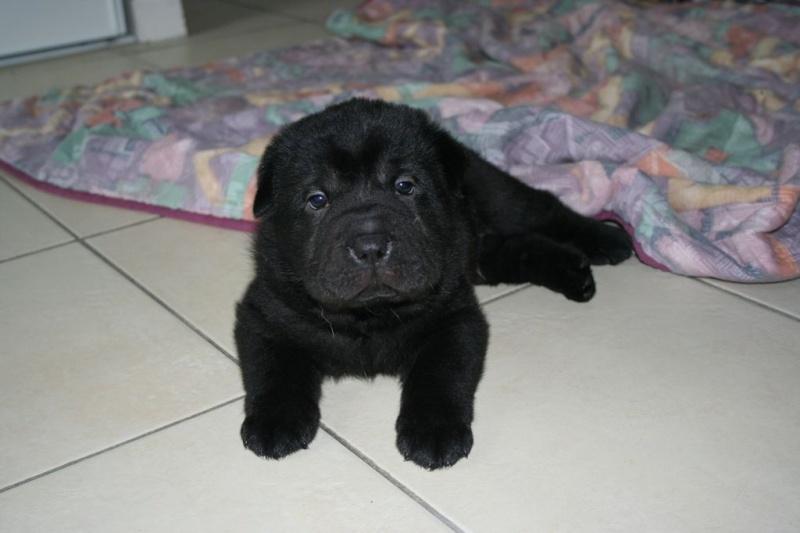 Vénus Labrador/Golden 8 ans et ses 5 BB Labrador/Golden x Shar Peï Xavi_110
