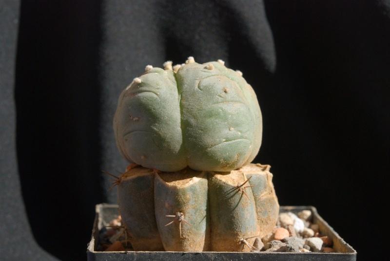 Lophophora williamsii var. Huizache Bilde947