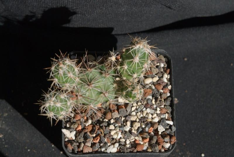 Corynopuntia moelleriana Bilde962