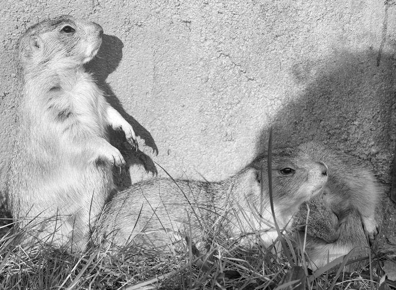 ♥♥♥ Mes petits n'amours de chiens de prairie, avec leurs demi-frères... ♥♥♥ - Page 6 1_05810