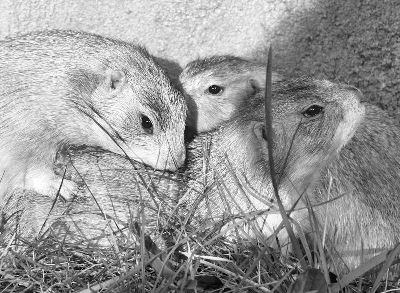♥♥♥ Mes petits n'amours de chiens de prairie, avec leurs demi-frères... ♥♥♥ - Page 6 1_05910