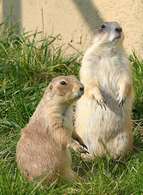 ♥♥♥ Mes petits n'amours de chiens de prairie, avec leurs demi-frères... ♥♥♥ - Page 6 1_07010