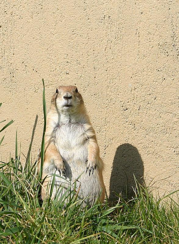 ♥♥♥ Mes petits n'amours de chiens de prairie, avec leurs demi-frères... ♥♥♥ - Page 7 1_12110