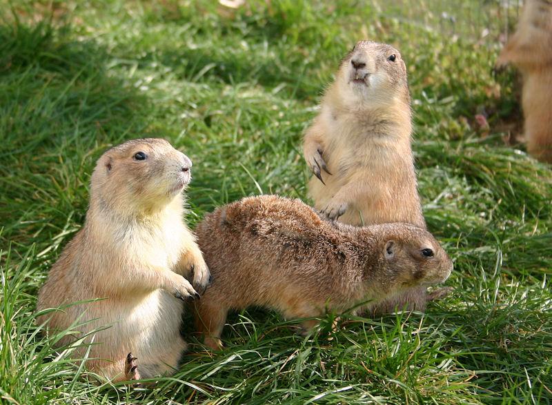 ♥♥♥ Mes petits n'amours de chiens de prairie, avec leurs demi-frères... ♥♥♥ - Page 7 1_13110
