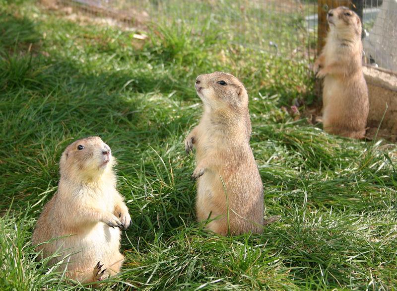 ♥♥♥ Mes petits n'amours de chiens de prairie, avec leurs demi-frères... ♥♥♥ - Page 7 1_13210