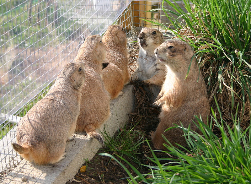 ♥♥♥ Mes petits n'amours de chiens de prairie, avec leurs demi-frères... ♥♥♥ - Page 7 1_15410