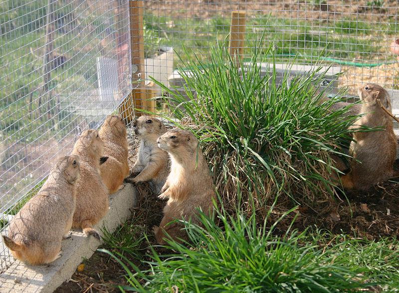 ♥♥♥ Mes petits n'amours de chiens de prairie, avec leurs demi-frères... ♥♥♥ - Page 7 1_15510