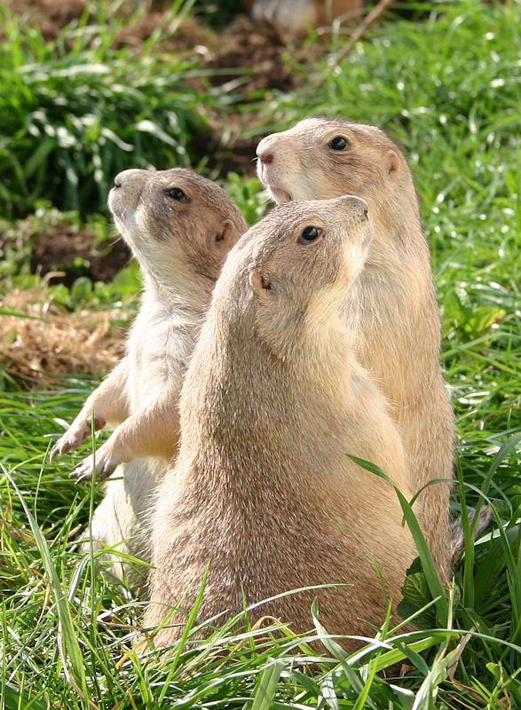 ♥♥♥ Mes petits n'amours de chiens de prairie, avec leurs demi-frères... ♥♥♥ - Page 7 1_28910