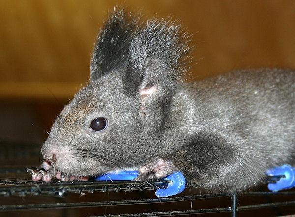 ♥♥♥ Photos et vidéos de Vanille et Chocolat,écureuils Japonais à ventre blanc... et de leurs frères et soeurs poilus ! ♥♥♥ - Page 5 2011_012