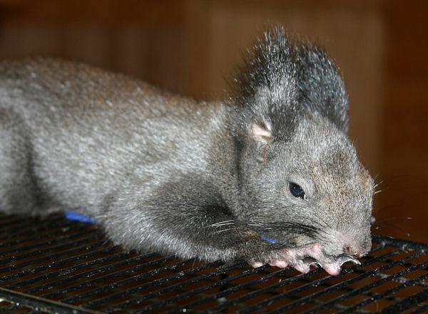 ♥♥♥ Photos et vidéos de Vanille et Chocolat,écureuils Japonais à ventre blanc... et de leurs frères et soeurs poilus ! ♥♥♥ - Page 5 2011_013
