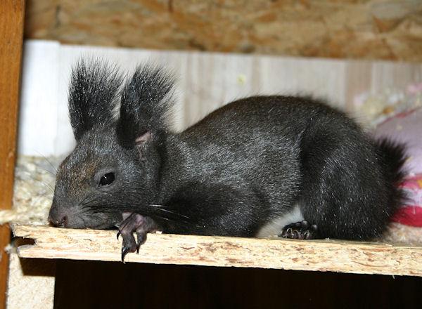 ♥♥♥ Photos et vidéos de Vanille et Chocolat,écureuils Japonais à ventre blanc... et de leurs frères et soeurs poilus ! ♥♥♥ - Page 5 2011_014