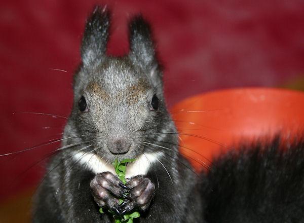 ♥♥♥ Photos et vidéos de Vanille et Chocolat,écureuils Japonais à ventre blanc... et de leurs frères et soeurs poilus ! ♥♥♥ - Page 5 2011_020