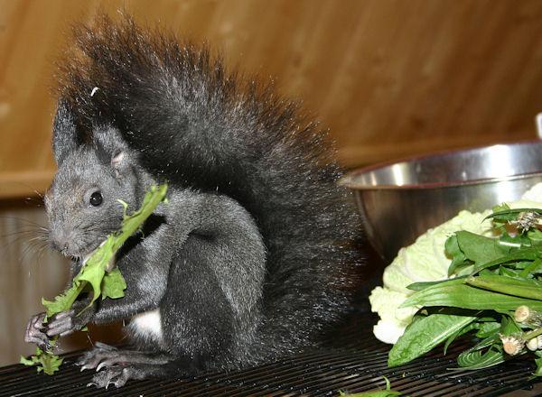 ♥♥♥ Photos et vidéos de Vanille et Chocolat,écureuils Japonais à ventre blanc... et de leurs frères et soeurs poilus ! ♥♥♥ - Page 5 2011_021