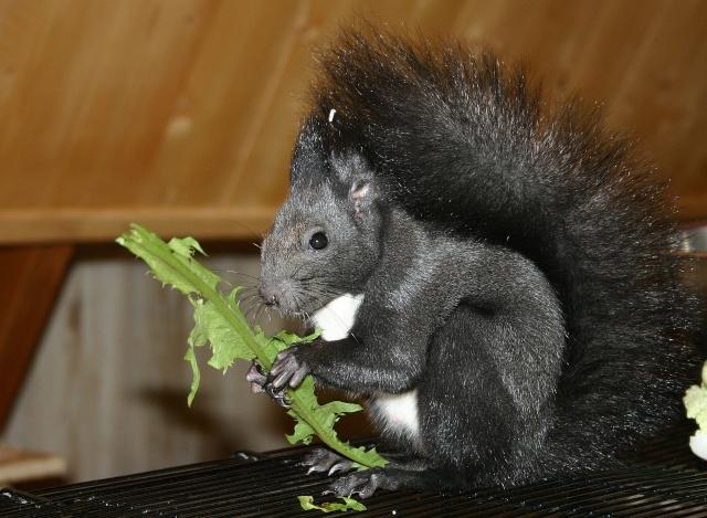 ♥♥♥ Photos et vidéos de Vanille et Chocolat,écureuils Japonais à ventre blanc... et de leurs frères et soeurs poilus ! ♥♥♥ - Page 5 2011_023