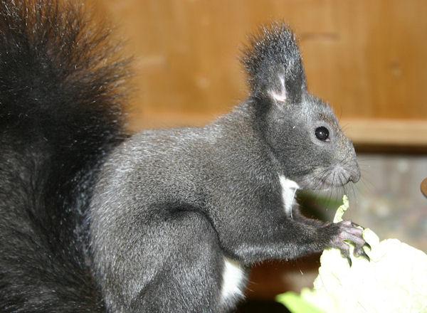 ♥♥♥ Photos et vidéos de Vanille et Chocolat,écureuils Japonais à ventre blanc... et de leurs frères et soeurs poilus ! ♥♥♥ - Page 5 2011_025