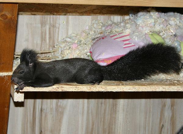 ♥♥♥ Photos et vidéos de Vanille et Chocolat,écureuils Japonais à ventre blanc... et de leurs frères et soeurs poilus ! ♥♥♥ - Page 5 2011_027