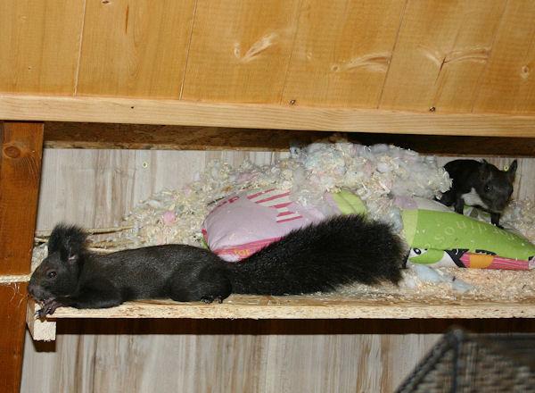 ♥♥♥ Photos et vidéos de Vanille et Chocolat,écureuils Japonais à ventre blanc... et de leurs frères et soeurs poilus ! ♥♥♥ - Page 5 2011_028