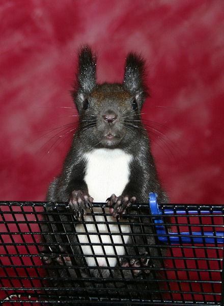 ♥♥♥ Photos et vidéos de Vanille et Chocolat,écureuils Japonais à ventre blanc... et de leurs frères et soeurs poilus ! ♥♥♥ - Page 5 2011_029