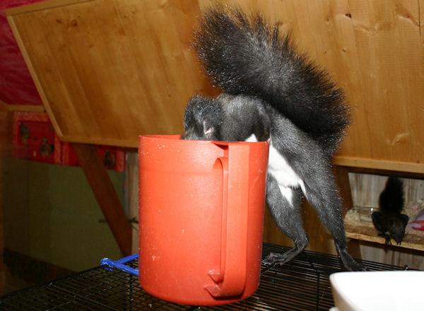 ♥♥♥ Photos et vidéos de Vanille et Chocolat,écureuils Japonais à ventre blanc... et de leurs frères et soeurs poilus ! ♥♥♥ - Page 5 2011_037