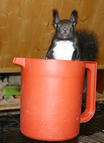 ♥♥♥ Photos et vidéos de Vanille et Chocolat,écureuils Japonais à ventre blanc... et de leurs frères et soeurs poilus ! ♥♥♥ - Page 5 2011_038