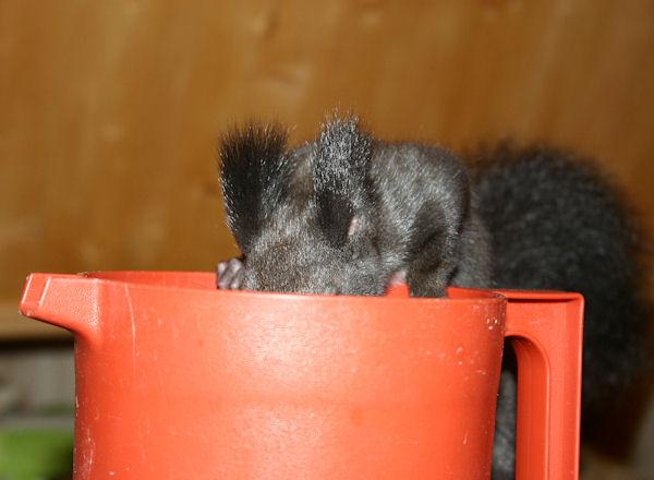 ♥♥♥ Photos et vidéos de Vanille et Chocolat,écureuils Japonais à ventre blanc... et de leurs frères et soeurs poilus ! ♥♥♥ - Page 5 2011_039