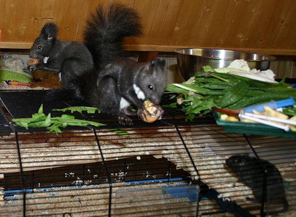 ♥♥♥ Photos et vidéos de Vanille et Chocolat,écureuils Japonais à ventre blanc... et de leurs frères et soeurs poilus ! ♥♥♥ - Page 5 2011_040