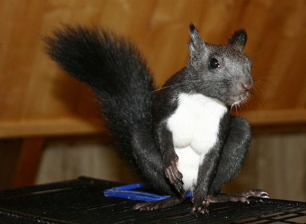 ♥♥♥ Photos et vidéos de Vanille et Chocolat,écureuils Japonais à ventre blanc... et de leurs frères et soeurs poilus ! ♥♥♥ - Page 5 2011_044